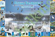 Птицы Беларуси. (формат А1)
